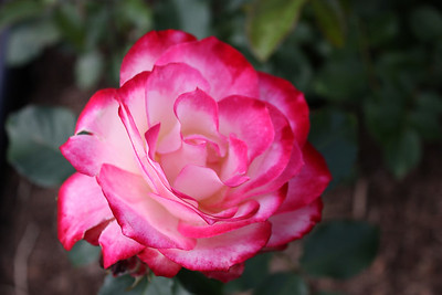 2009 Rose Garden Central Park Schenectady