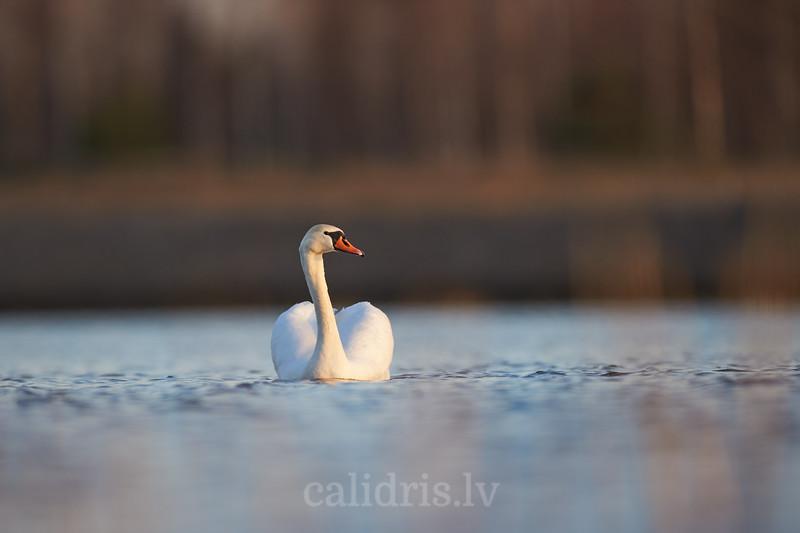Paugurknābja gulbis / Mute swan / Cygnus olor