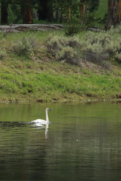 Trumpeter Swan cruising upstream in the Yellowstone River - Yellowstone National Park