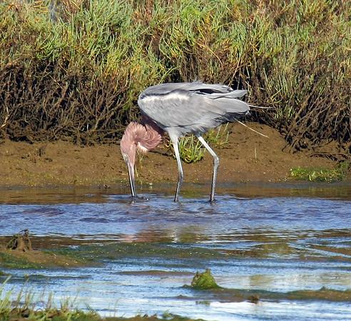 Bolsa Chica Wetlands (11-2-08)