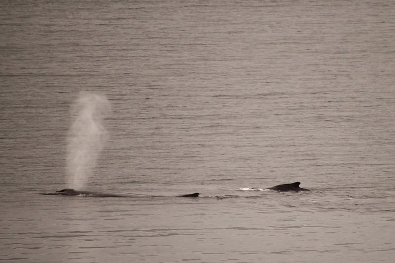 There were humpback whales in the harbor.