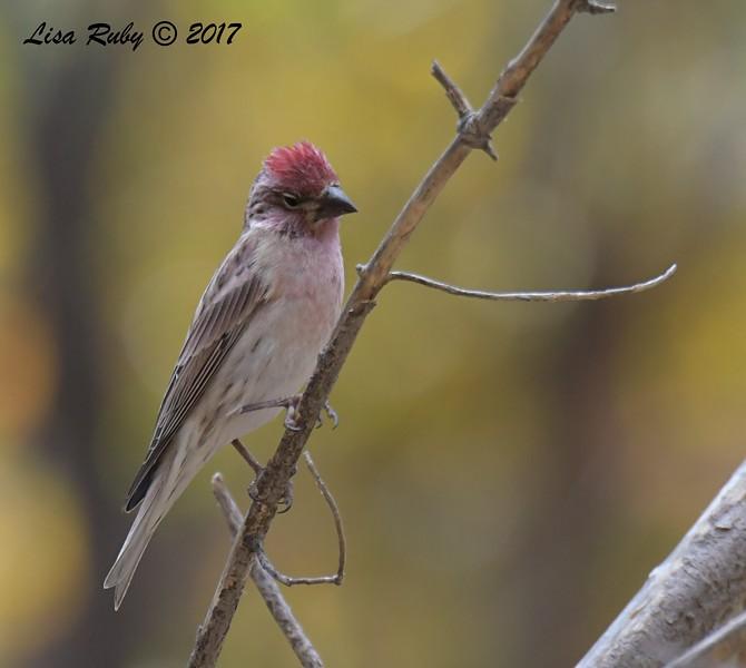 Cassin's Finch - 10/18/2017 - Aspen Creek Trail, Prescott, AZ