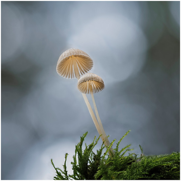 Mycena sp on Sitka spruce