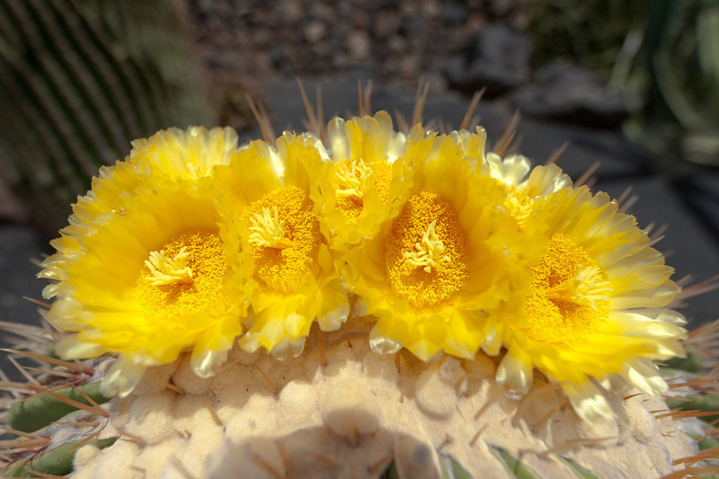 Macro shot of a cactus in Cactus Garden, Lanzarote, Spain
