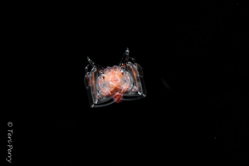 BLACKWATER - CRAB - zoea-0242.jpg