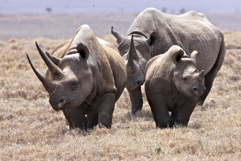 Rhino trio, Lewa, Kenya