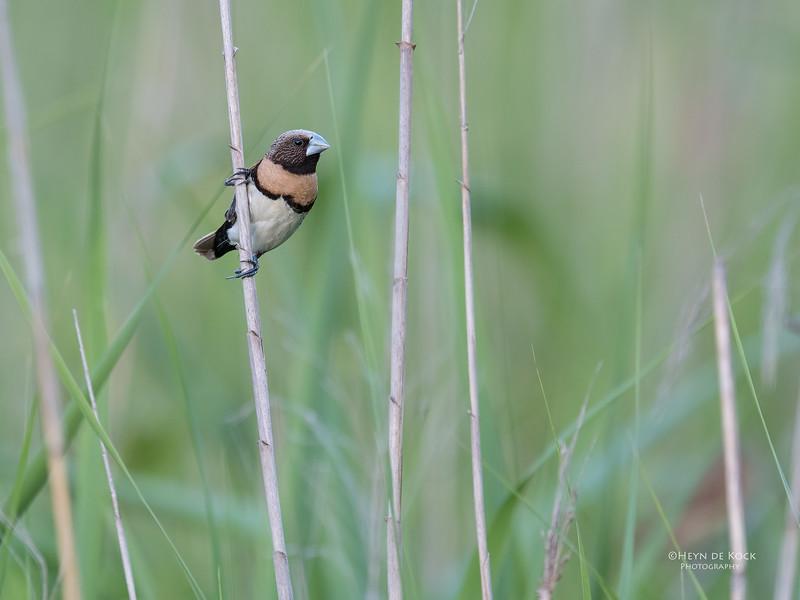 Chestnut-breasted Mannikin, Sandy Camp Wetlands, QLD, Aus, Jan 2017-2.jpg