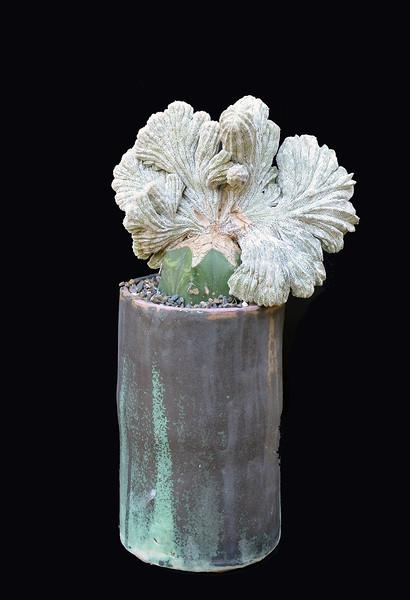 Astrophytum myriostigma cv. Onzuka crest