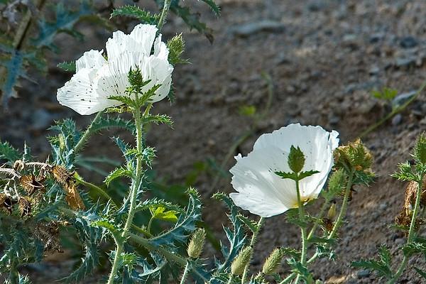 Prickly Poppy-Southwestern - Buenos Aires NWR - AZ-02