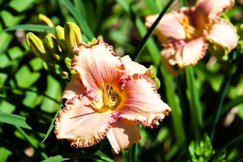 20190714 Daylilies and Flowers-6407.jpg