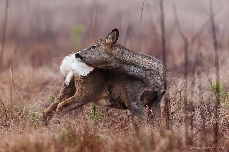 Rådyr (Capreolus capreolus - Roe Deer), hun der soignerer sig, Lyngby Åmose - marts 2012