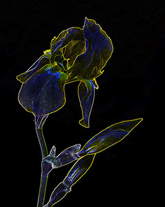 Dark Drawings of Iris Flower set 2127