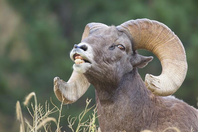 "Colorado Bighorn ram executing the flehmen response, a.k.a. ""lip curling"""