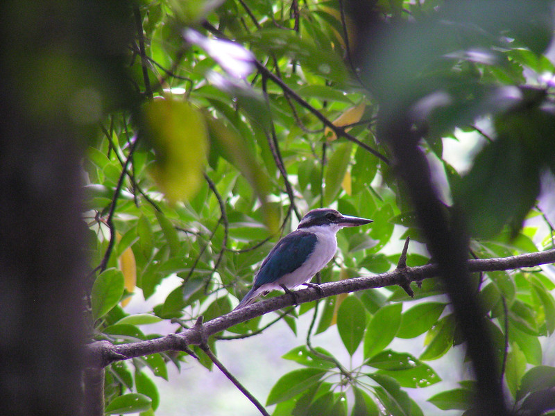 Collared Kingfisher (Todirhamphus chloris)