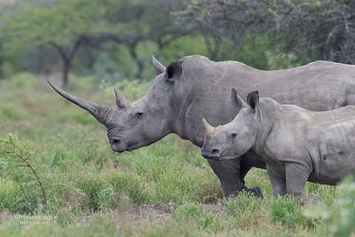 White Rhinoceros (Ceratotherium simum)NT