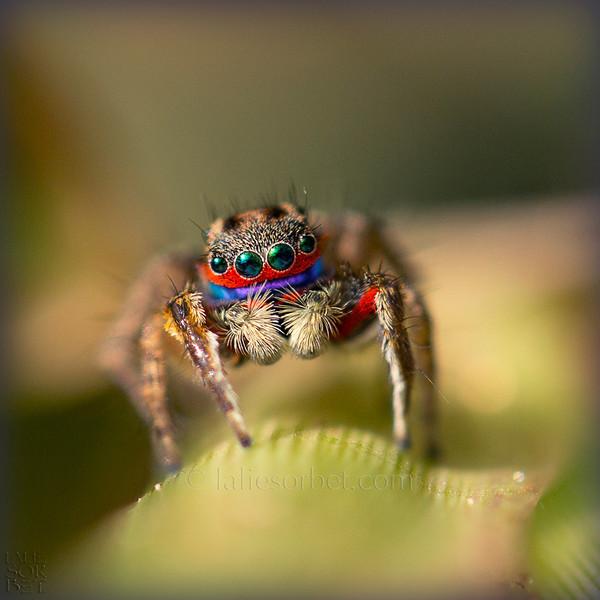 Indian Jumper spider -Salticidae - Tamild Nadu - India. Despite all the researches done by myself and a team of Australian entomologists, experts with jumper spiders (salticidae) we do not have found the name of this one. It is probably not yet listed ...  Araignée sauteuse indienne  - Salticidae - Tamil Nadu - India. En dépit de toutes les recherches effectuées par moi même et également une équipe d'entomologistes australiens spécialistes des jumper spider ( salticidae ) nous n'avons pas pu trouvé le nom de celle ci. Elle n' est probablement pas encore répertoriée...