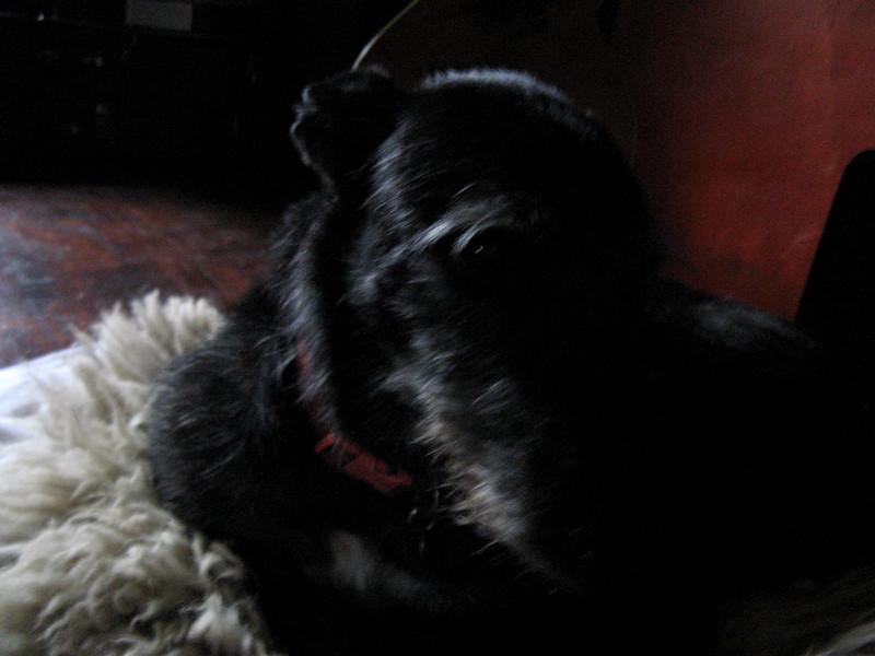 Ratty!  Beautiful, mustachioed greyhoundish dog.