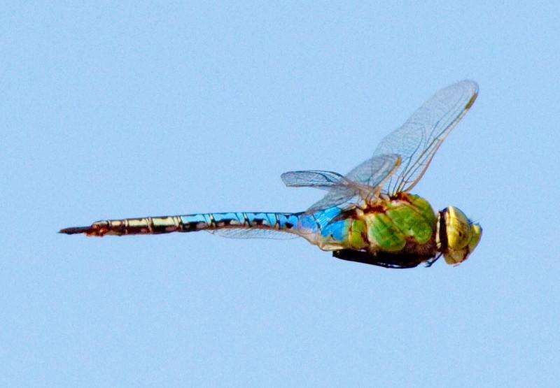 dragonflyinflight8.jpg