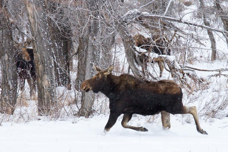 moose running 1.19.18 2.jpg