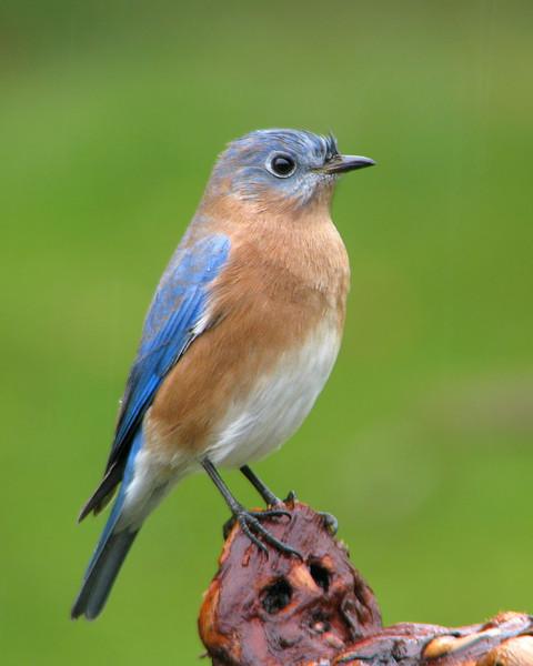bluebird_fledgling_4617.jpg