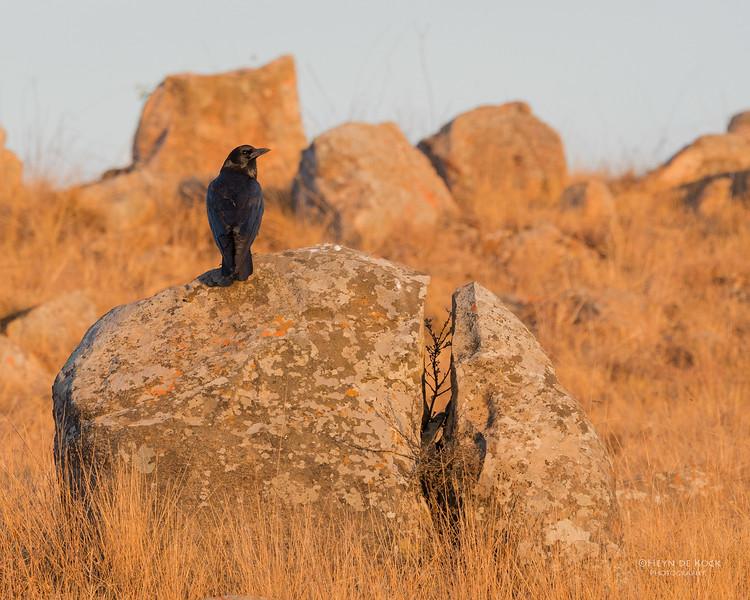 Cape Crow, Dullstroom, MP, SA, Oct 2016-1.jpg
