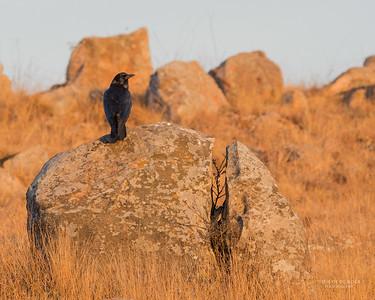 Cape Crow (Corvus capensis)