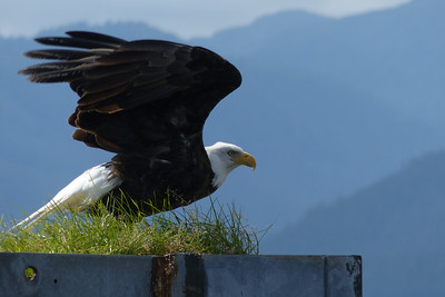 Bald Eagle Ready for Takeoff August 2015, Cynthia Meyer, Tenakee Springs, Alaska P1080641