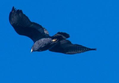 Zone-tailed Hawk 2-6-18