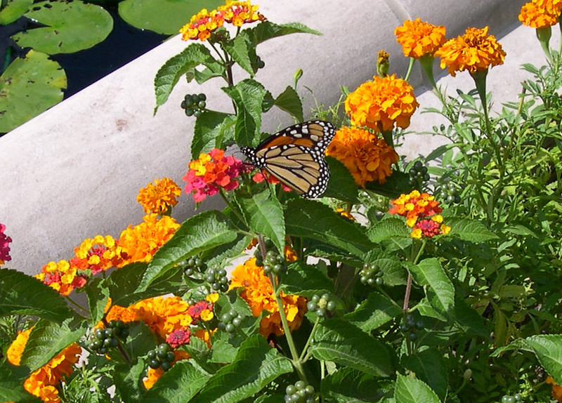 monarch423.jpg