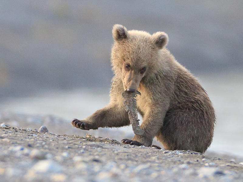coastal brown bear  cub.jpg
