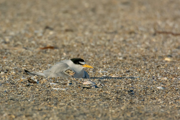 2016 Terns and Skimmers
