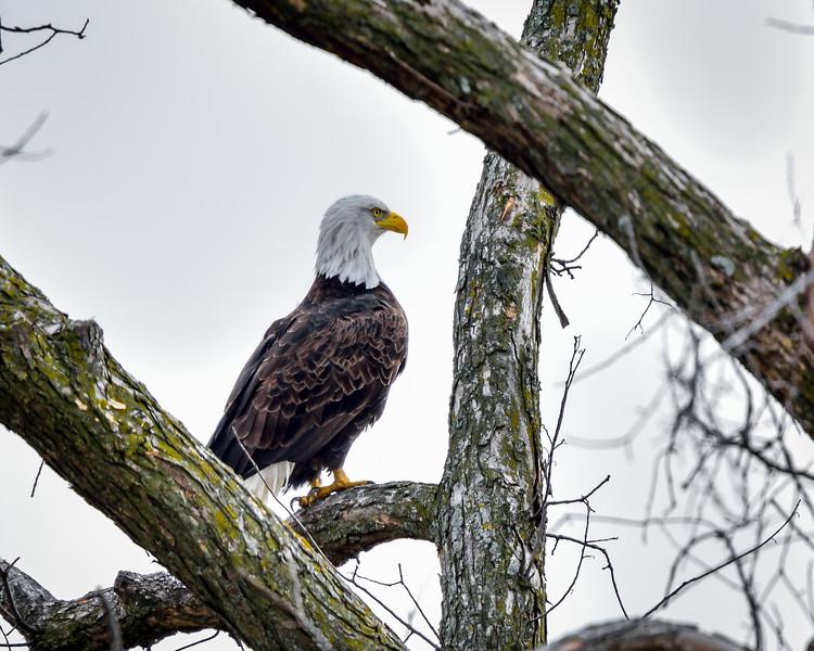 -_Bald Eagle 2014-12-18-1.jpg