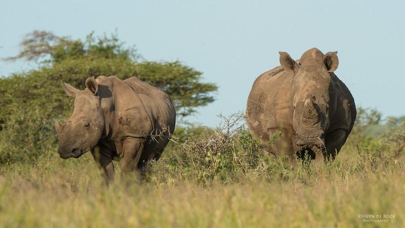 White Rhino, Hluhluwe-Imfolozi NP, KZN, SA, Jan 2014-1.jpg