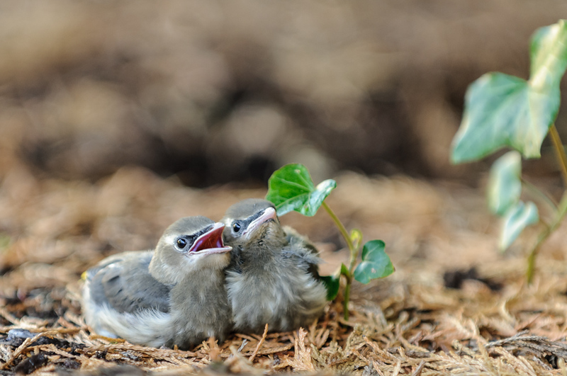 Thse baby birds are living on our lawn