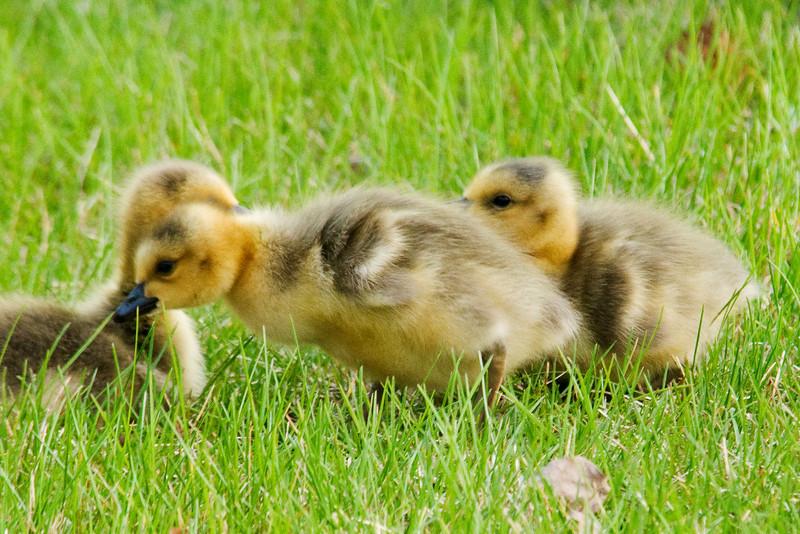 Goose - Canada - babies - Shoreview, MN - 06