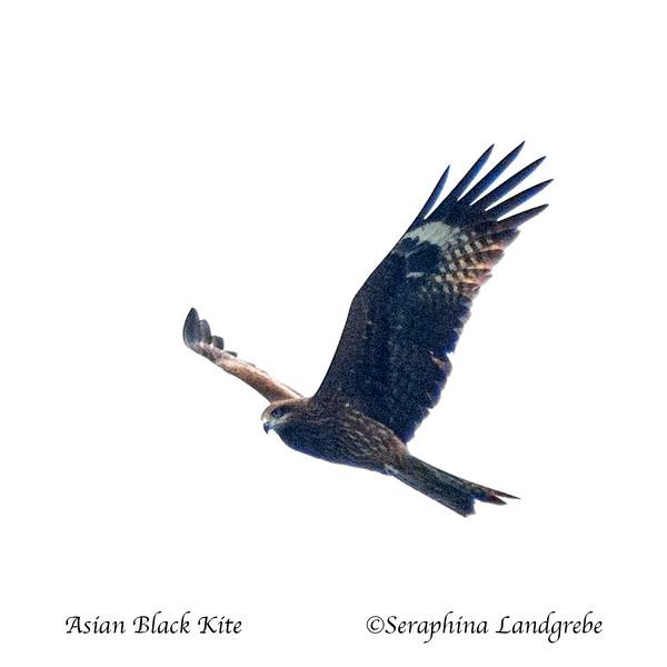 _DSC0149Asian Black Kite.jpg