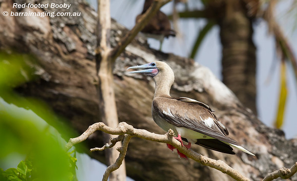 Booby's Family Sulidae