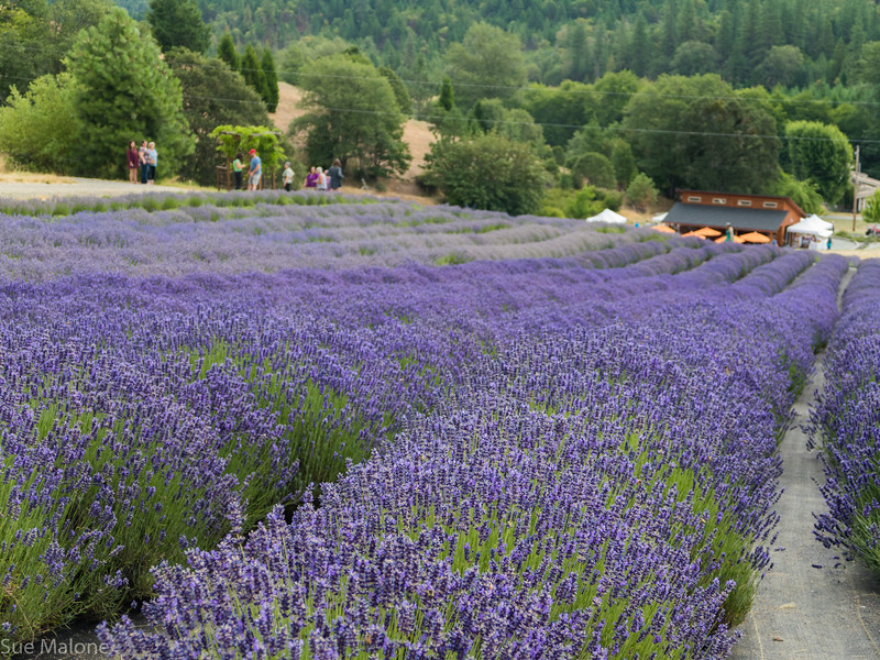 07-15-2018 A Day at the Lavender Farm-7.jpg