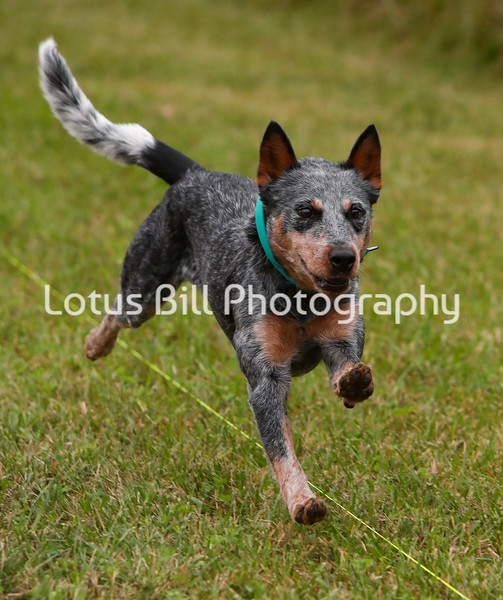 Blue Heeler Australian Cattledog 2 SR2
