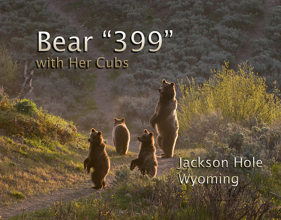 "Grizzly Bear ""399"" and her Cubs"