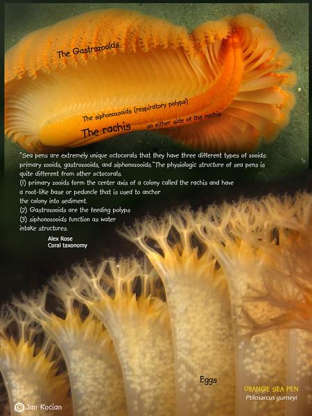 3.21.12 Sea pen eggs a S .jpg