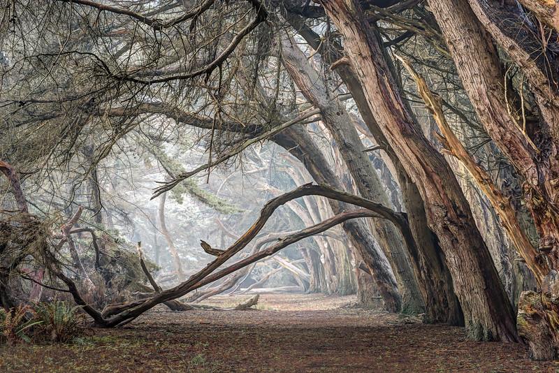 Winter Cypress, Sea Ranch, California