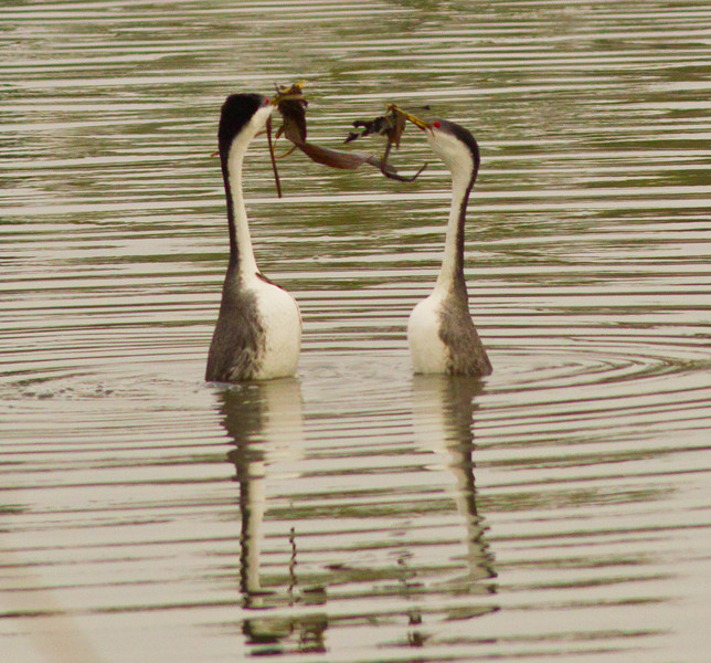 Western Grebe  Camp Pendleton 2013 03 29 (2 of 7).CR2