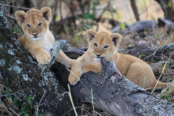 Worlds Cutest Lion Cubs Mara North Kenya 2017