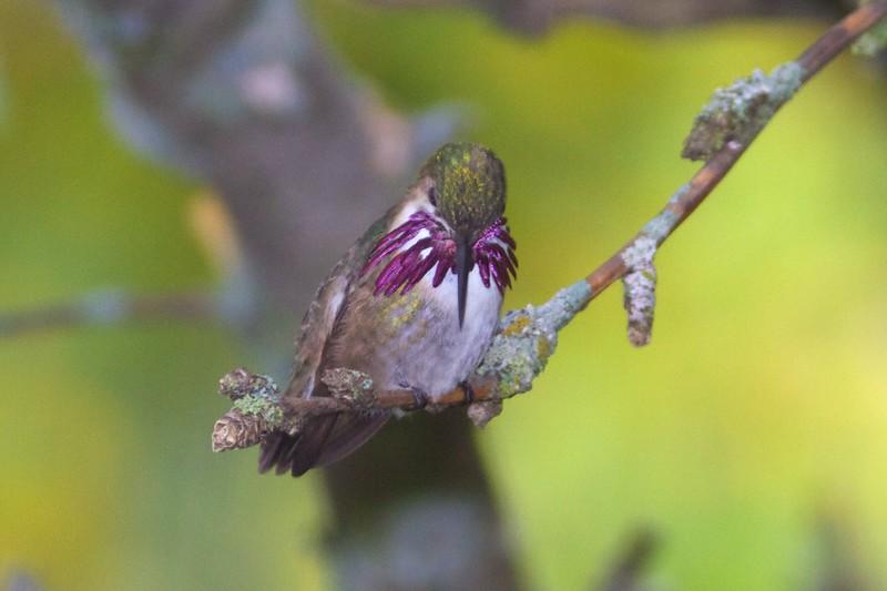 Calliope Hummingbird male Park Point Duluth MN IMG_1916.jpg