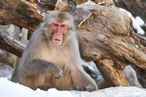 Snow Monkeys Eating Japan 2019