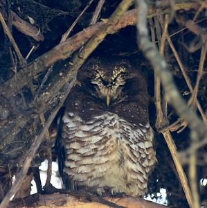 A 22 Owls-Eulen