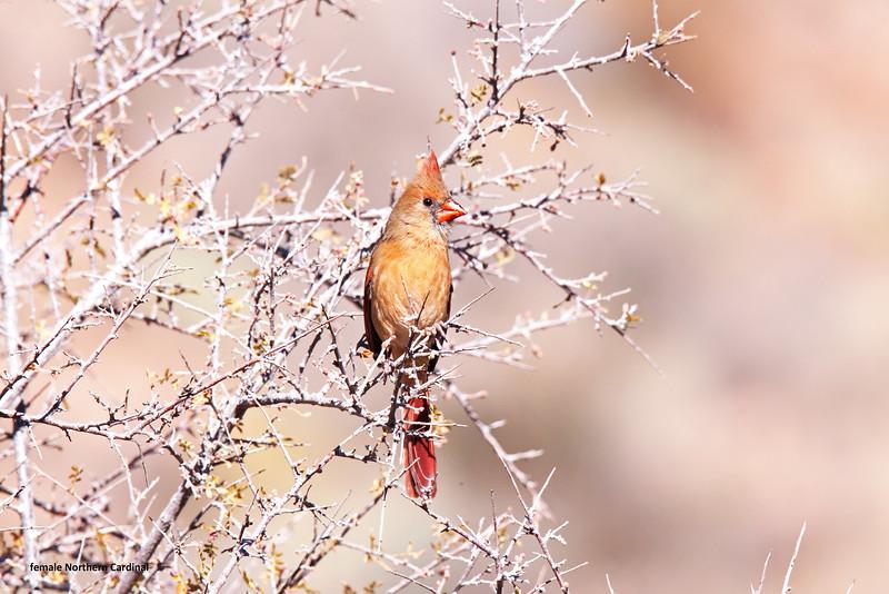 20141124_0565 T +sat fm N Cardinal.jpg