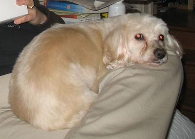 Chai got groomed Monday and she looks soooo cute in her fluffy coat.