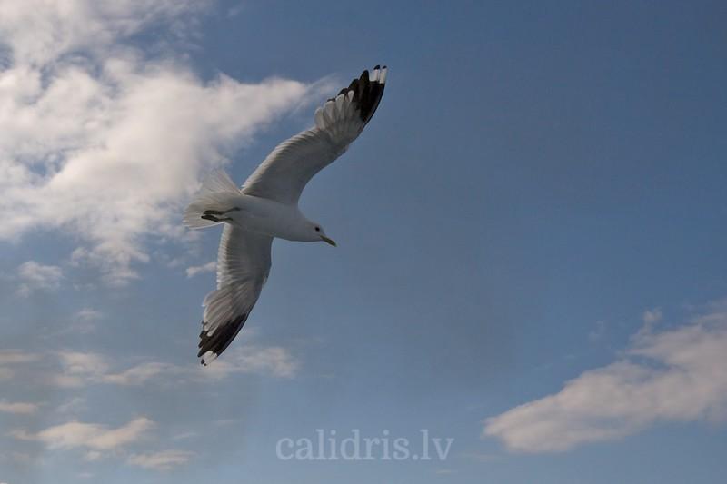 Common Gull in fligt